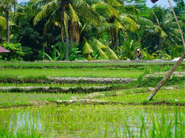 Pola ryżowe w Ubud – Bali